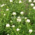Monarde blanche