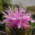 Monarde rose