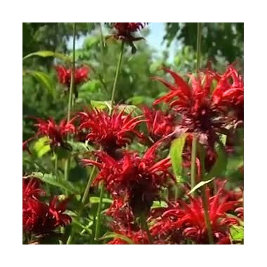 Monarde 'Jacob Cline'