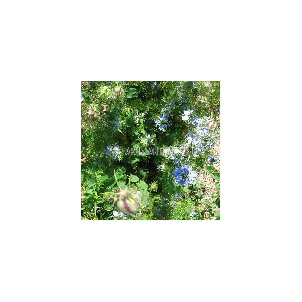 Nigelle de damas nigella damascena arom 39 antique for Plante nigelle