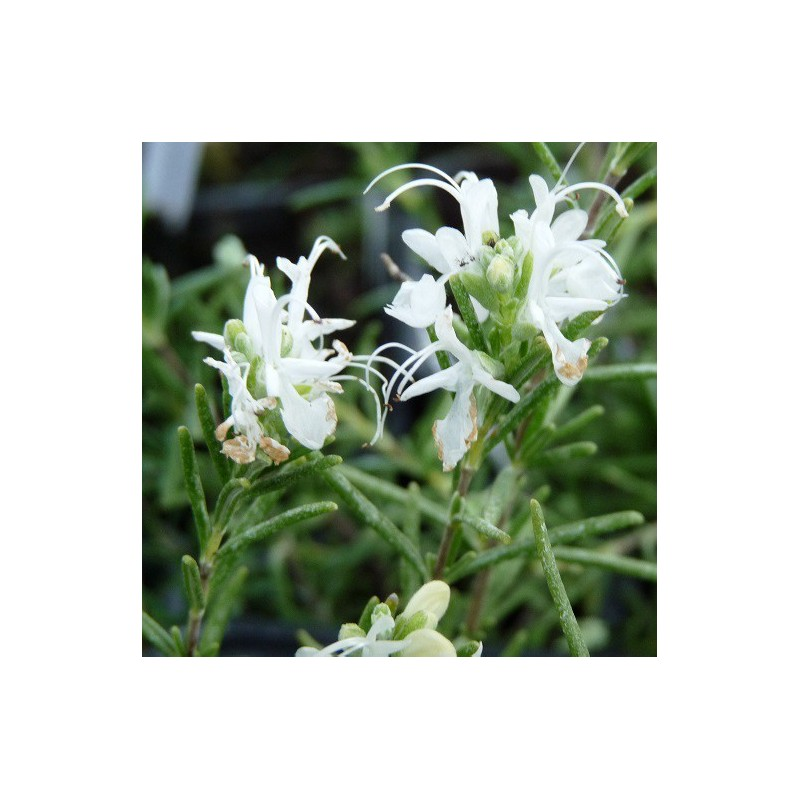 Romarin fleurs blanches rosmarinus officinalis for Plantes a commander