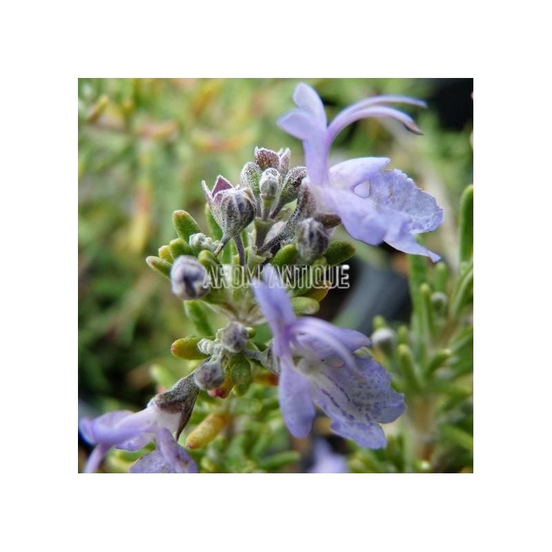 Romarin 'Sissinghurst Blue'