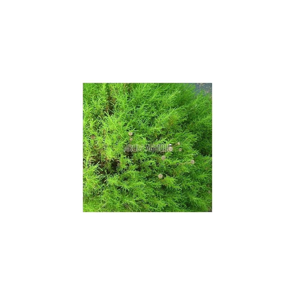 Santoline à feuilles de romarin
