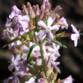 Saponaire officinale