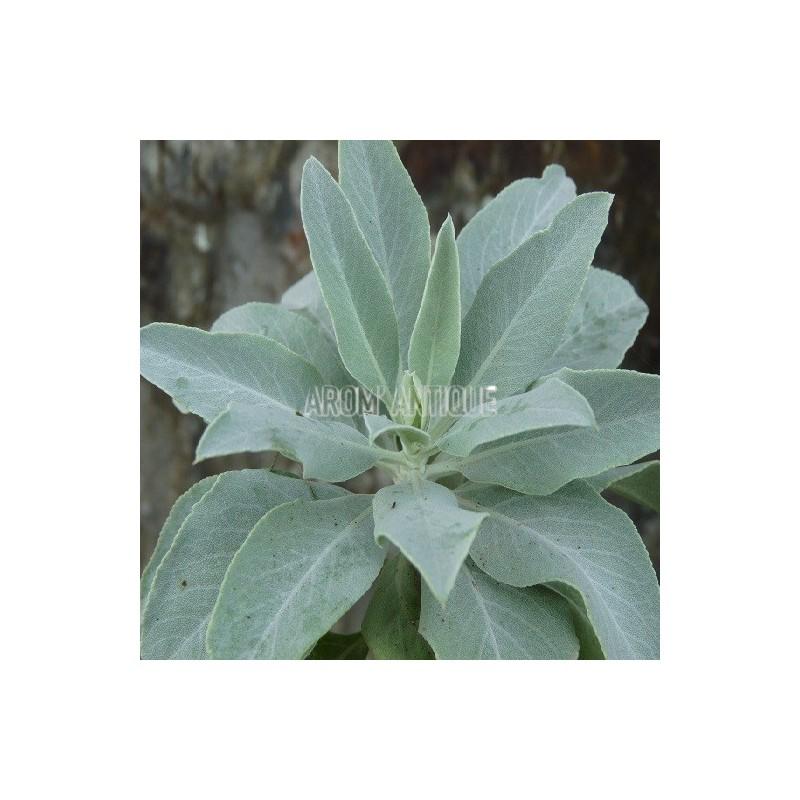 sauge blanche salvia apiana arom 39 antique 450 aromatiques bio. Black Bedroom Furniture Sets. Home Design Ideas