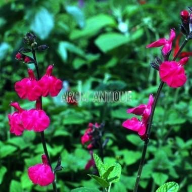 Sauge Pink Blush Bio