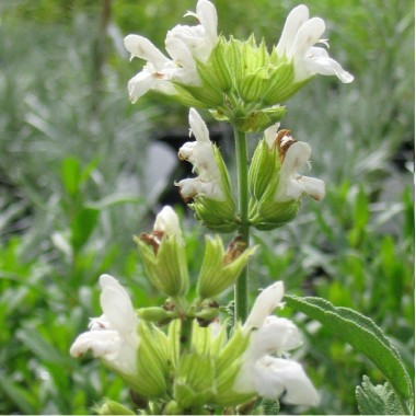 Sauge officinale blanche