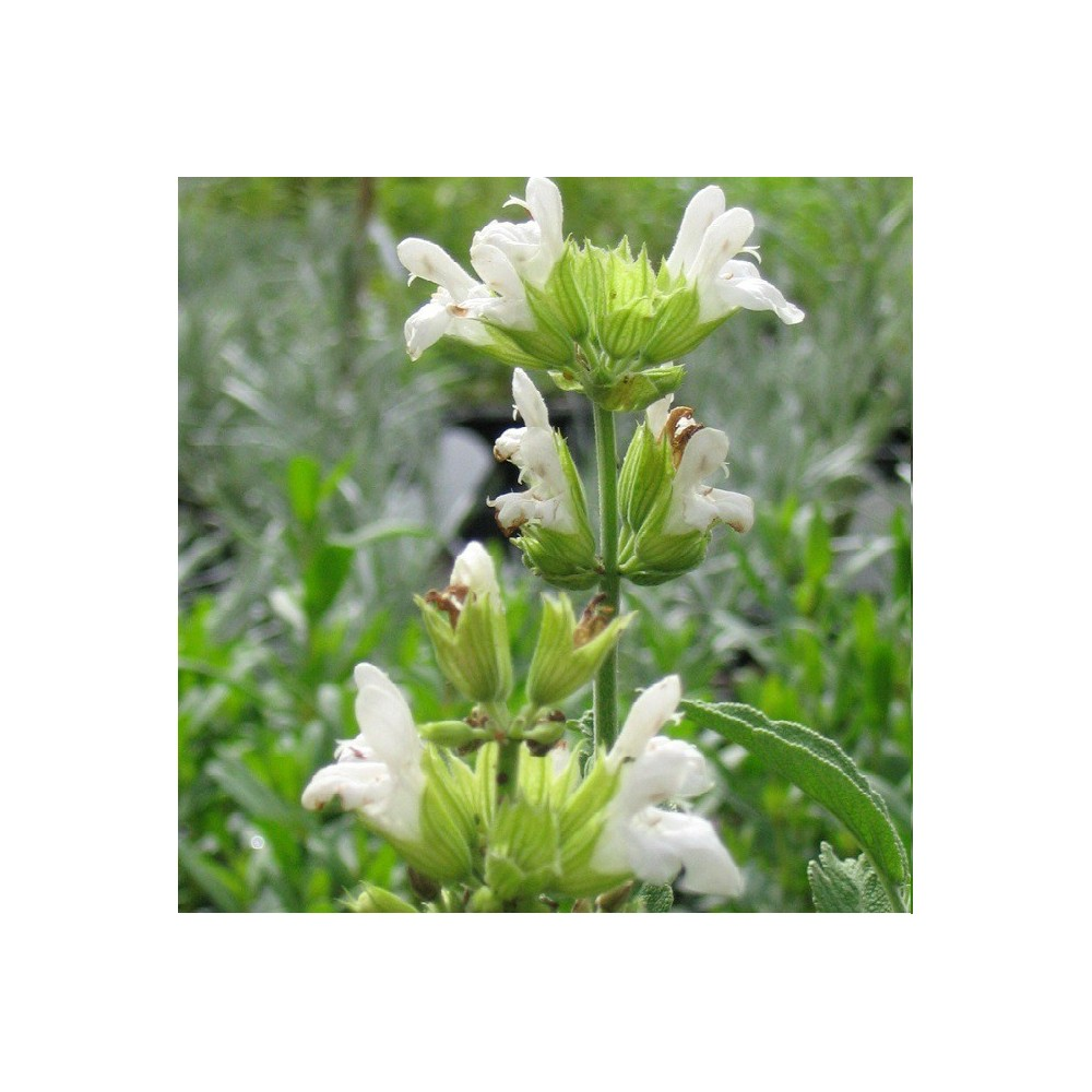 sauge fleurs blanche salvia officinalis 39 albiflora. Black Bedroom Furniture Sets. Home Design Ideas