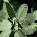 Sauge officinale à feuilles larges