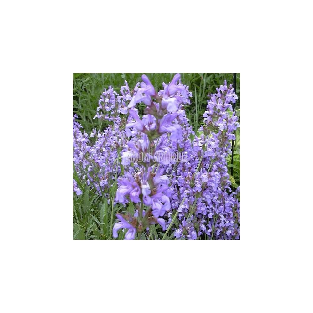 Vertu De La Lavande sauge lavande, salvia lavandulifolia, arom'antique, aromatiques bio.