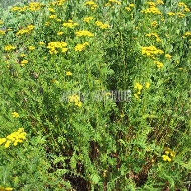 Liste des plantes aromatiques qui commencent par T - U - V.