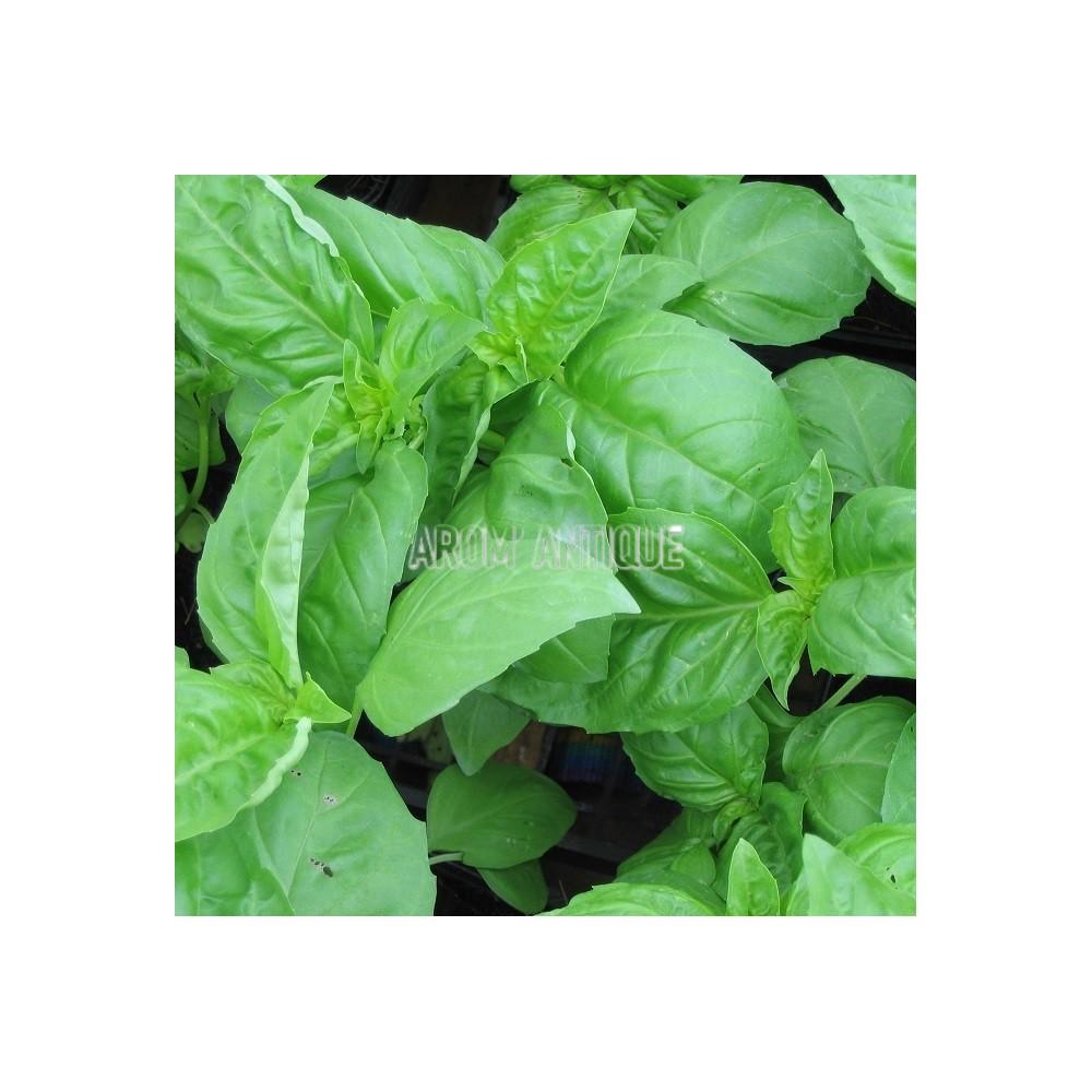 Basilic vert (Ocimum basilicum)