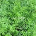 Aneth (Anethum graveolens)