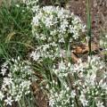 Ciboulette de Chine (Allium tuberosum)