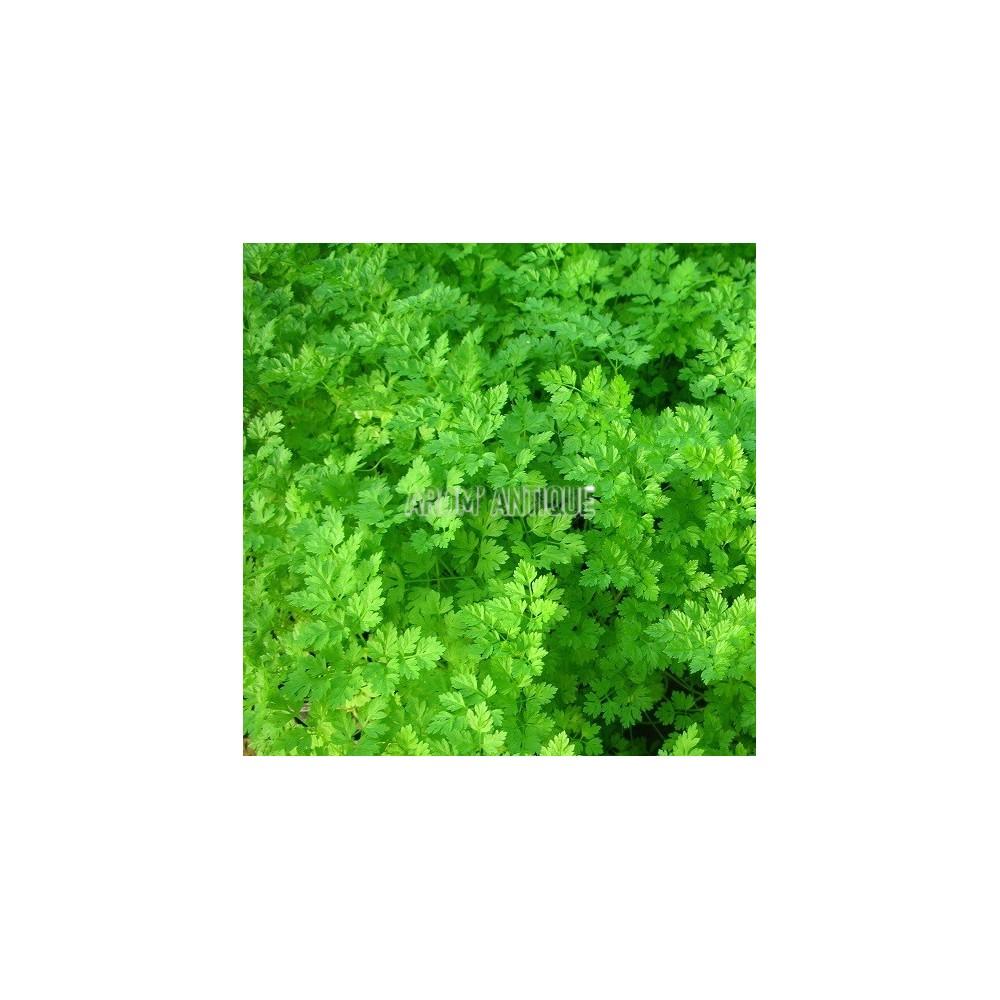 Cerfeuil commun (Anthriscus cerefolium)