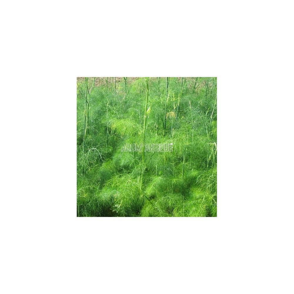 Fenouil (Foeniculum vulgare)