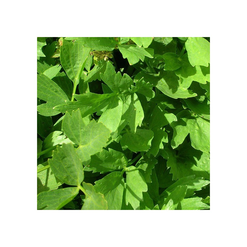 Livèche (Levisticum officinalis)