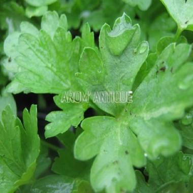 Persil commun (Petroselinum sativum)