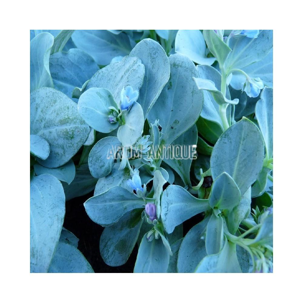 Plante A Planter En Septembre plante à huitre, mertensia maritima, huitre végétale.