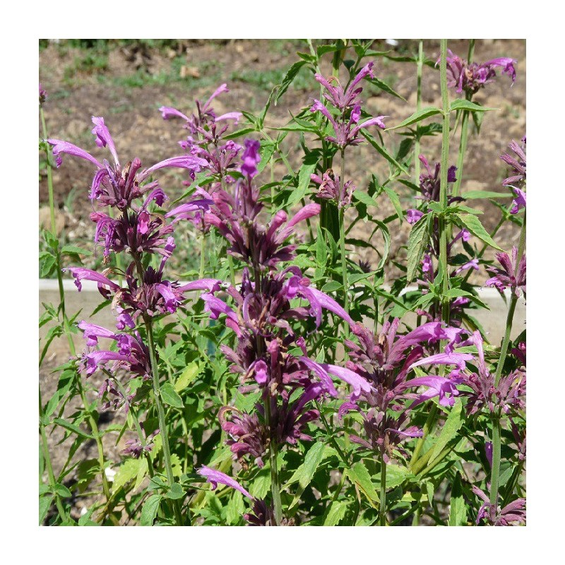 Agastache mexicaine