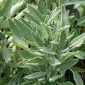 Sauge officinale 'Extrakta'