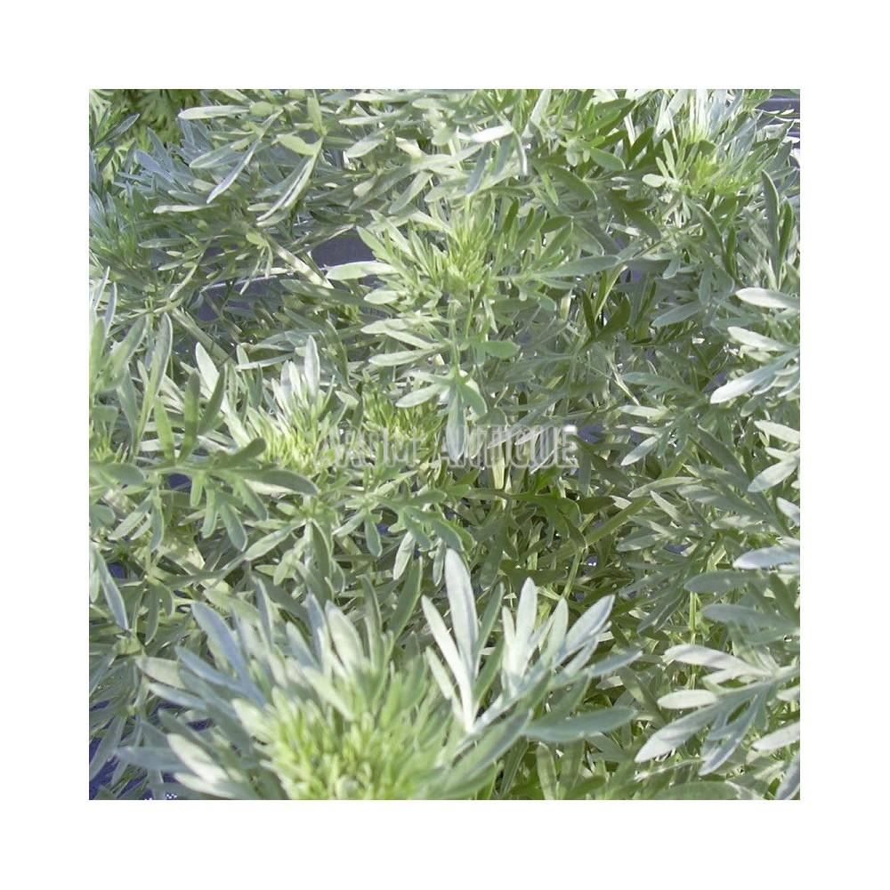 Absinthe (Artemisia absinthium)