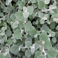 Hélichryse blanche