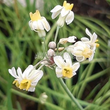 Ail d'Afrique du Sud jaune et blanc Bio