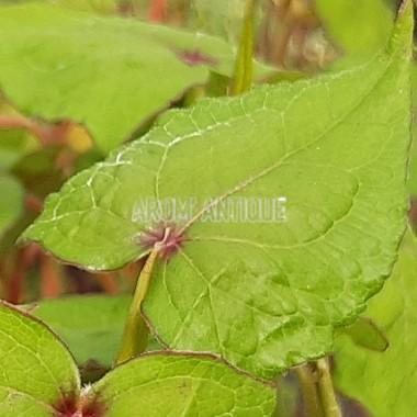 Epinard arbustif Bio