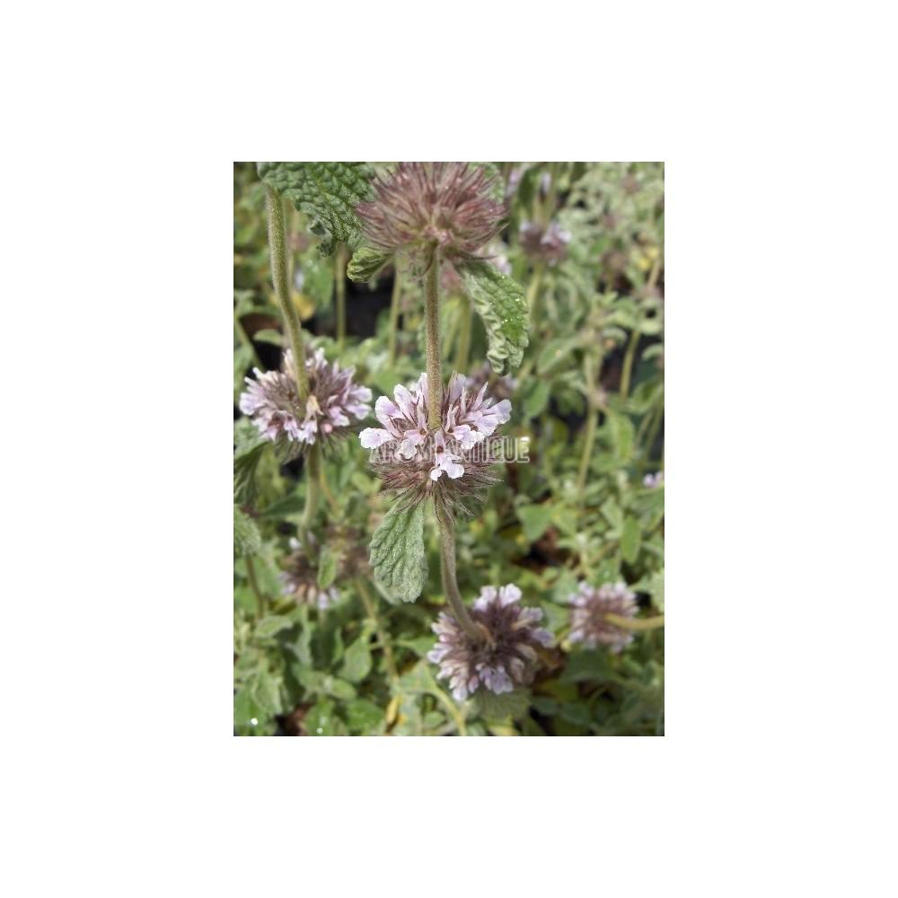Marrube supinum