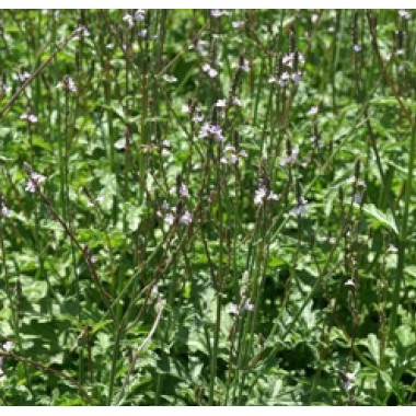 Verveine officinale Bio