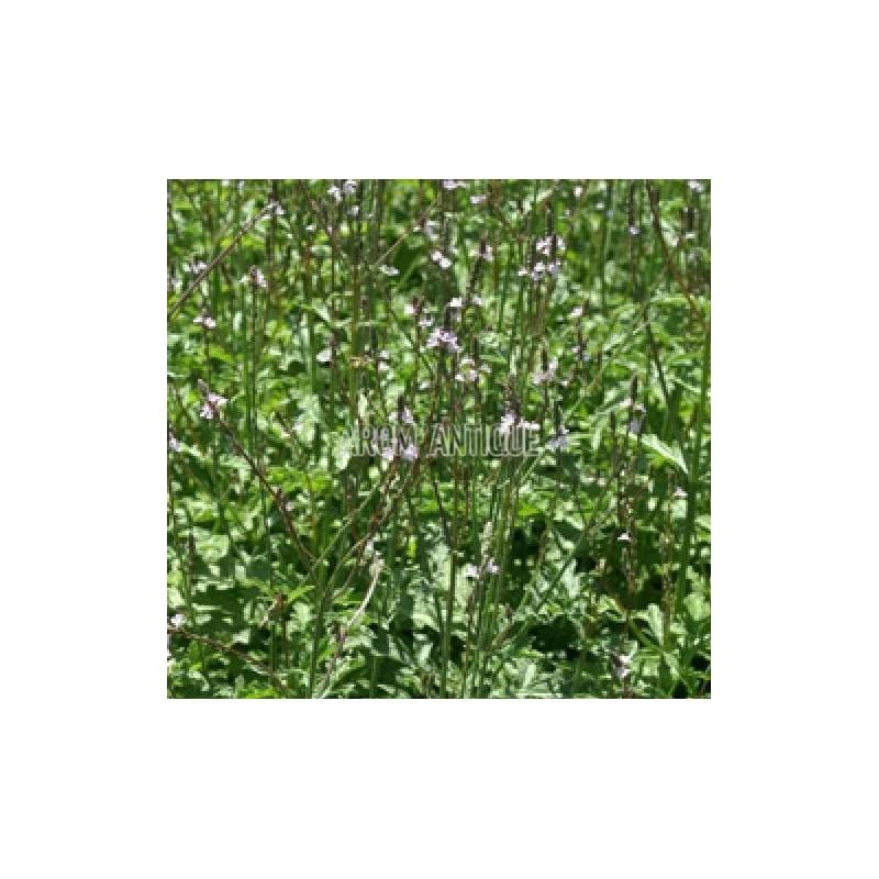 verveine officinale verbena officinalis arom 39 antique aromatique bio. Black Bedroom Furniture Sets. Home Design Ideas