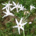 Ail d'Afrique du Sud à fleurs blanches