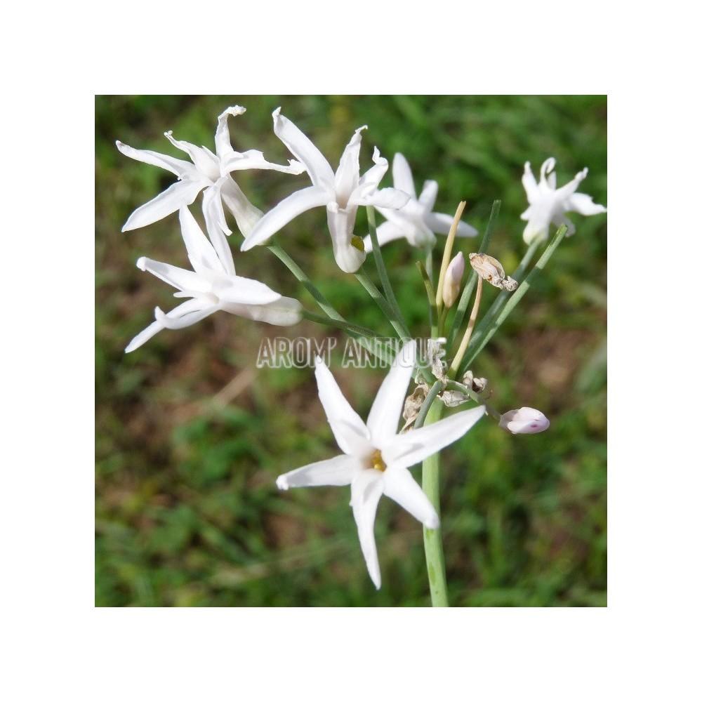 Ail D Afrique Du Sud A Fleurs Blanches Tulbaghia Violacea Alba