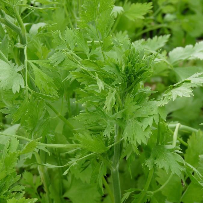 anis vert pimpinella anisum arom antique 450 aromatiques bio