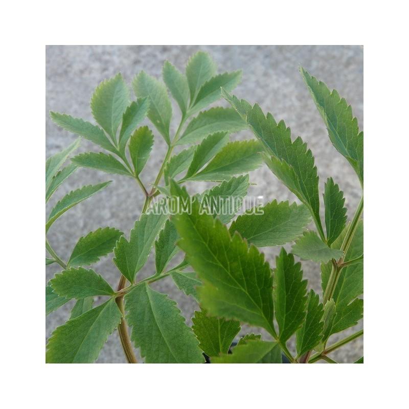 Ang lique de chine angelica dahurica arom 39 antique for Plante angelique