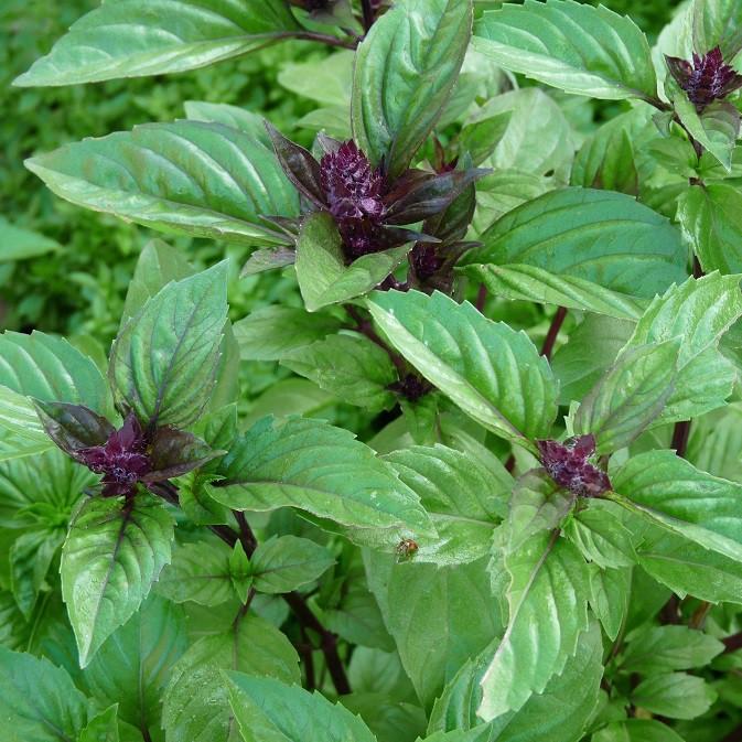 basilic cannelle ocimum basilicum cinnamon arom antique