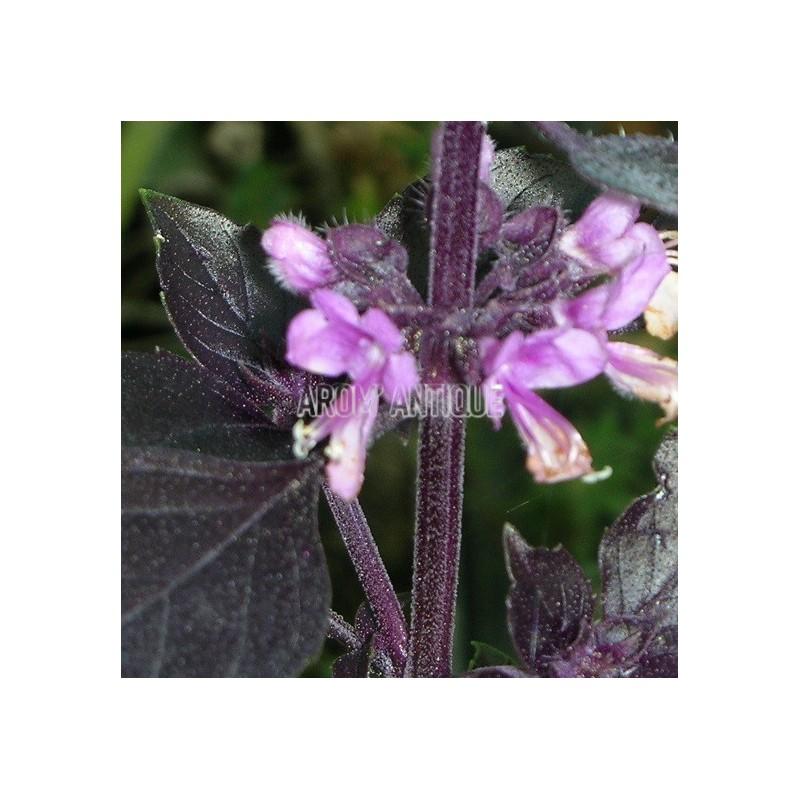 basilic pourpre basilic violet ocimum basilicum 39 purpurascens 39. Black Bedroom Furniture Sets. Home Design Ideas