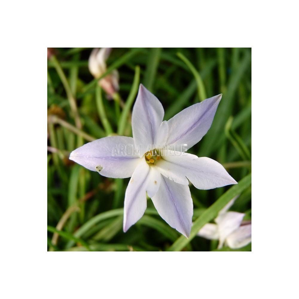 Ail des Incas à fleurs bleues