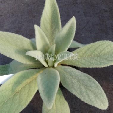 Bouillon blanc