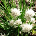 Ciboulette à fleurs blanches