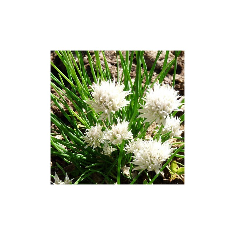 ciboulette fleur blanche allium schoenoprasum 39 album. Black Bedroom Furniture Sets. Home Design Ideas