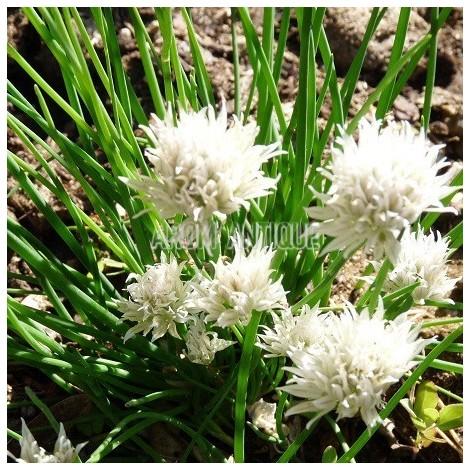 Ciboulette blanche