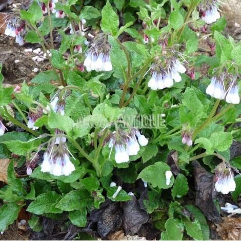 Consoude à fleurs bleues