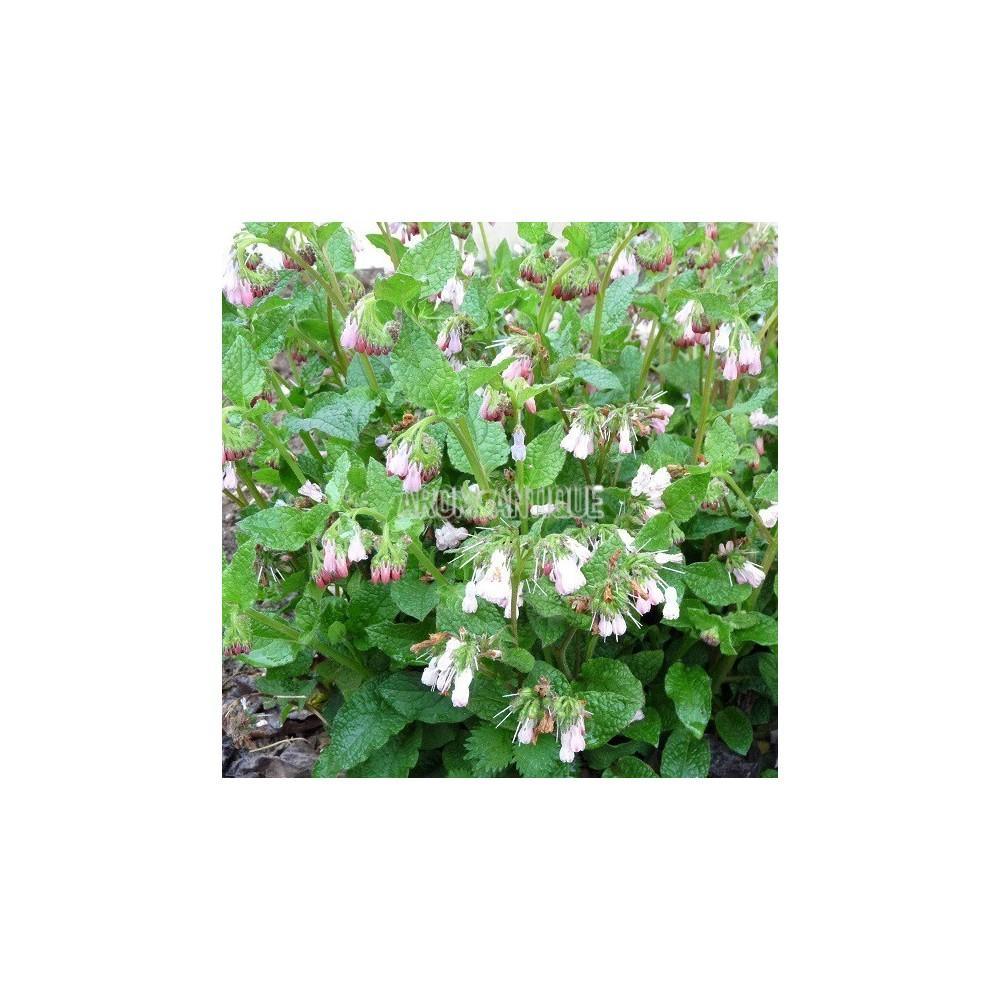 Consoude à fleurs roses