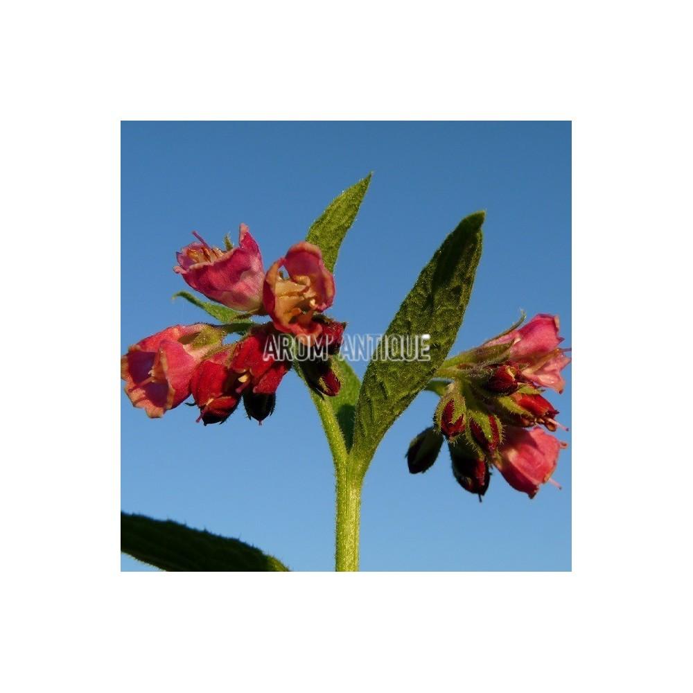 Consoude à fleurs rouges