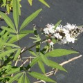Gattilier à fleurs blanches