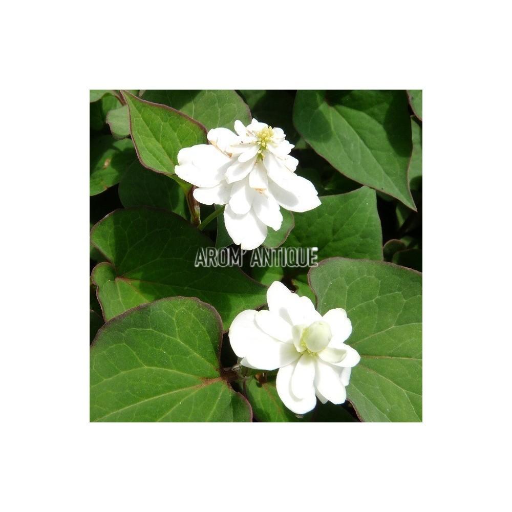 Herbe à poivre à fleurs doubles