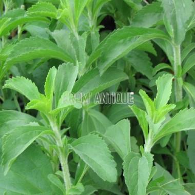 Herbe à sucre Bio
