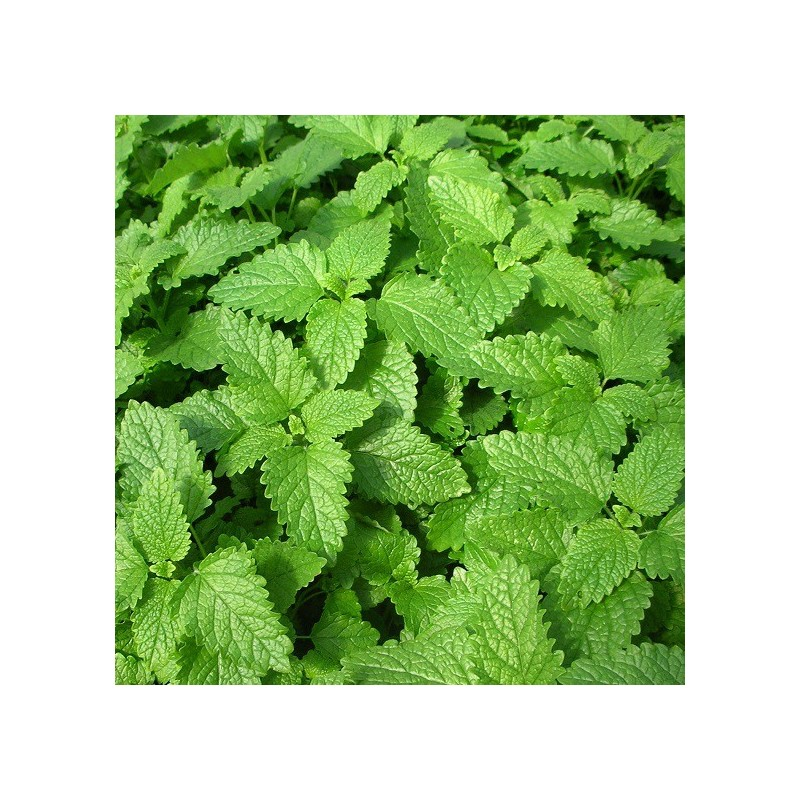 M lisse officinale ou citronnelle melissa officinalis arom 39 antique - Plantes aromatiques cuisine ...